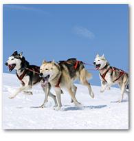 Eine Hundeschlittenfahrt im hohen Norden