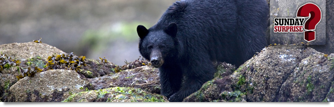 The Black Bears of Canada