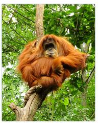 orangs-outangs de Bornéo